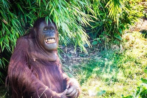 คลังภาพถ่ายฟรี ของ ยิ้ม, ลิง, ลิงกำลังนั่ง, ลิงอุรังอุตัง