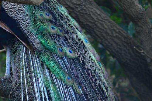 Darmowe zdjęcie z galerii z paw, pawie pióra, pióra