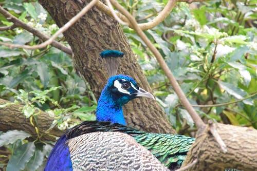 Darmowe zdjęcie z galerii z głowa pawia, paw, pawie pióra, pióra