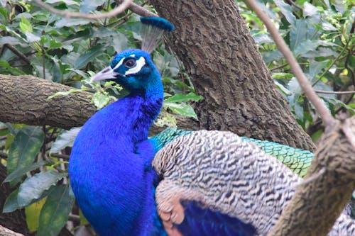 Darmowe zdjęcie z galerii z niebieski, paw, pawie pióra, pióra
