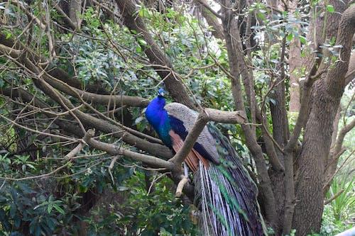 Darmowe zdjęcie z galerii z drzewo, niebieski, paw, pawie pióra