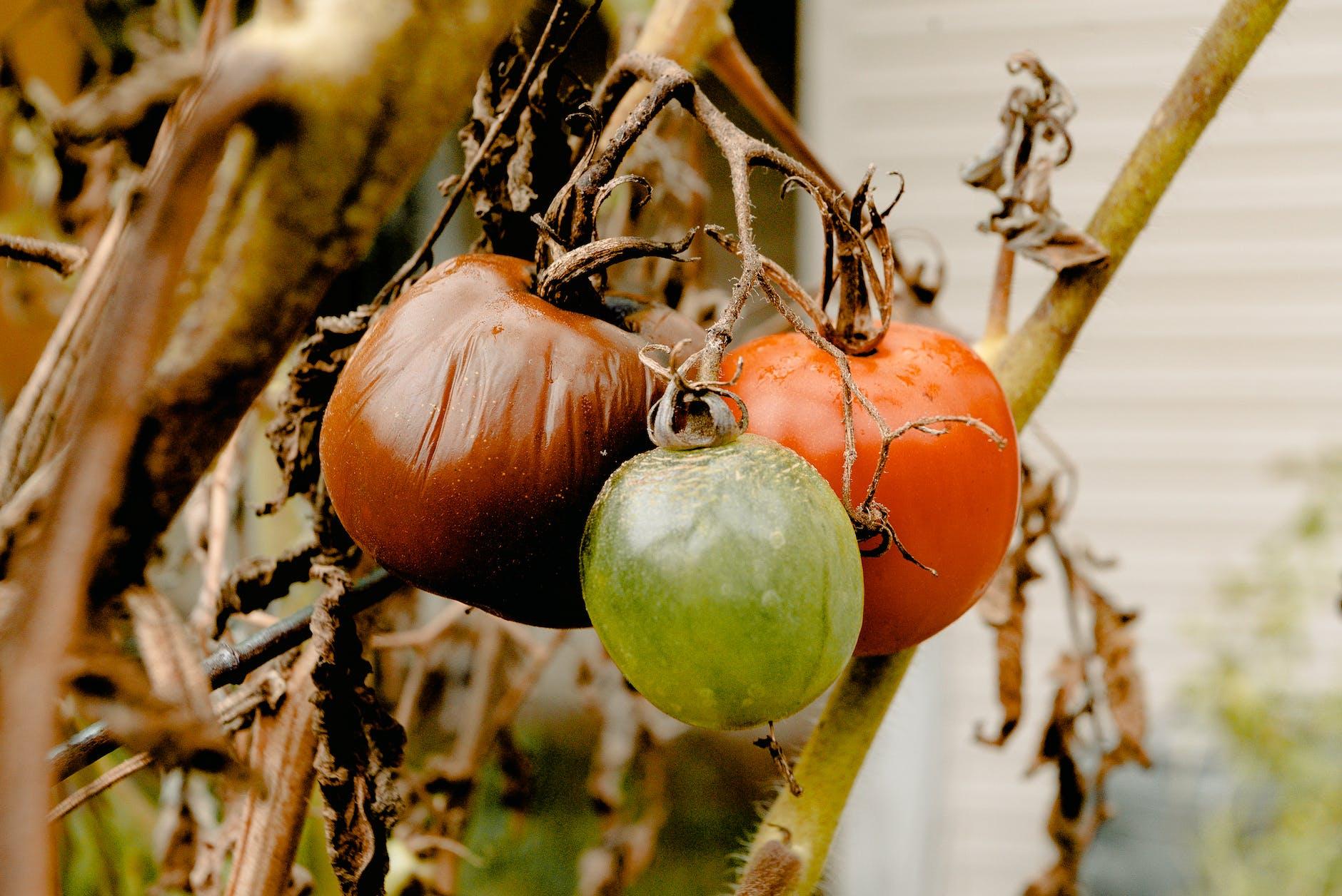tomatoes rotten on vine food waste