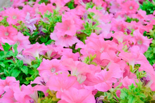 Free stock photo of flowers, pink flowers, red flowers