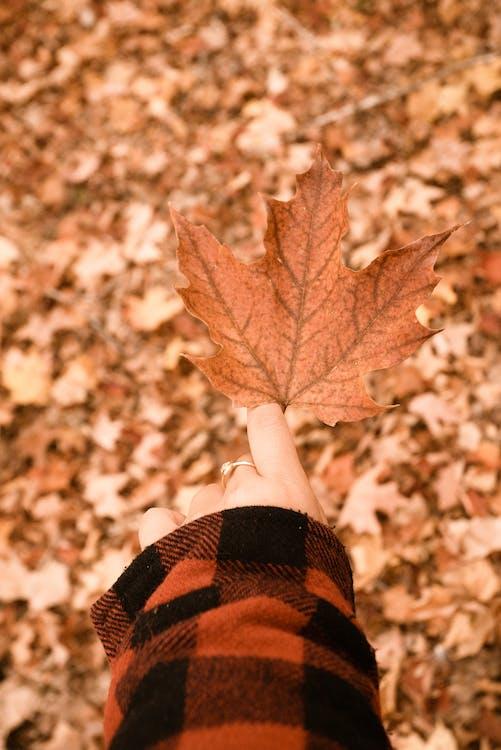 açık hava, akçaağaç yaprağı, bulanık arka plan