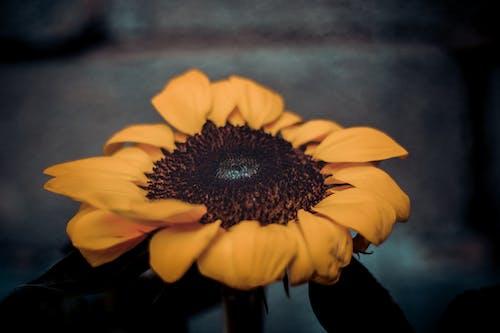 Immagine gratuita di fiori bellissimi, girasole