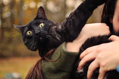 Fotobanka sbezplatnými fotkami na tému cicavec, čierna mačka, človek, domáce zviera