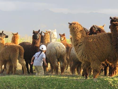 Free stock photo of boy, leader, llama