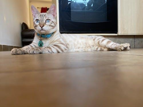 Free stock photo of animal, Bengal cat, cat, house cat