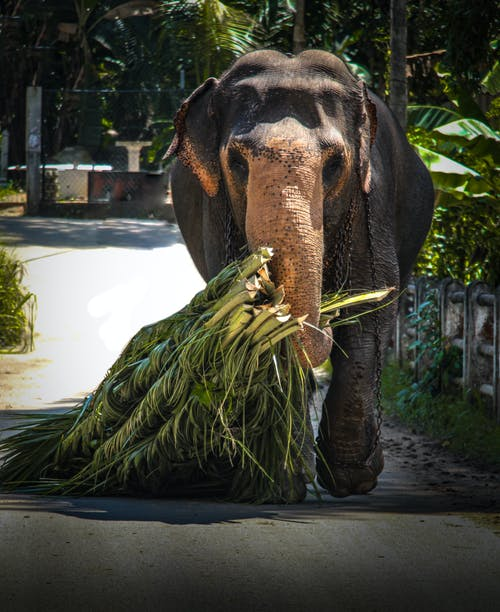 Elephant Carries Grass