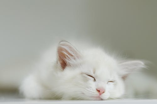 Adorable white kitten with soft fur lying on floor and peacefully sleeping at home