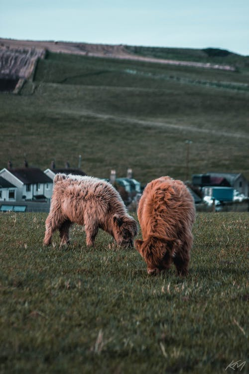 Gratis lagerfoto af baby ko, gård, highland coo, højlandskvæg
