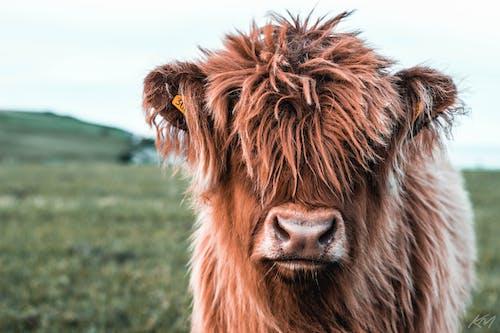 Gratis lagerfoto af baby ko, behåret, dyr, dyreliv