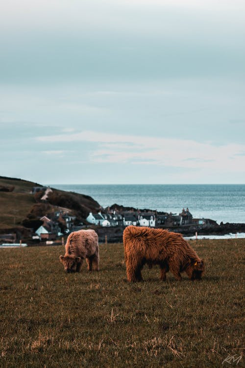 Free stock photo of baby cow, cattle, coast