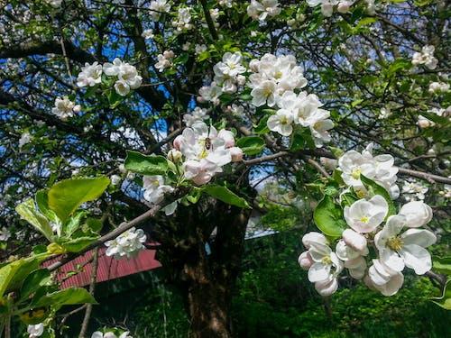 Foto profissional grátis de abelha, árvore, branco, flores