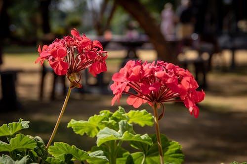 Fotos de stock gratuitas de afuera, flor, flor roja, jardín