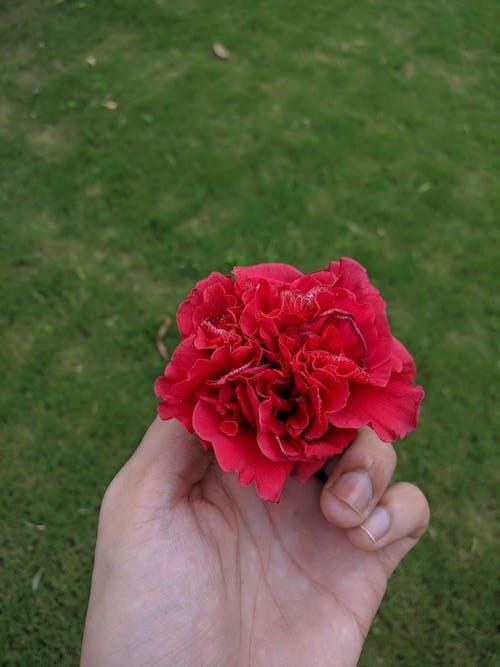 Ingyenes stockfotó rózsa virág témában