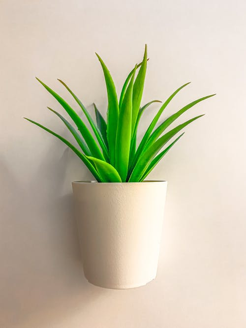 Green Leaf Plant With White Pot