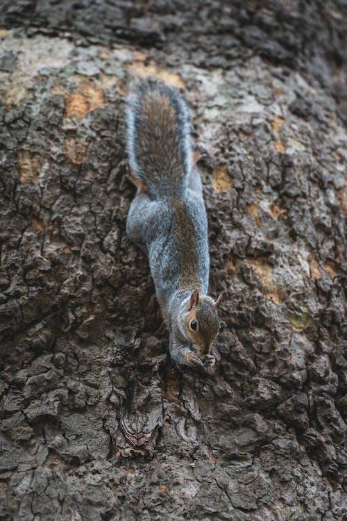 Free stock photo of animal, eating squirrel, fox squirrel, london