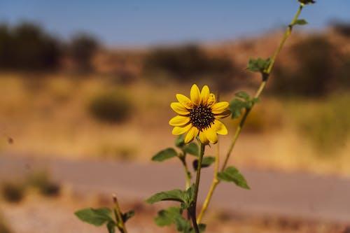 向日葵, 審美 的 免費圖庫相片