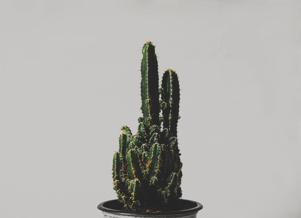 インドア, サボテン, サボテンの植物