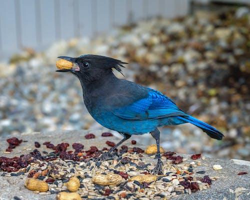 Бесплатное стоковое фото с голубой, птица, стеллер сойка