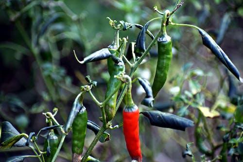 Fotos de stock gratuitas de chile, Fruta, planta