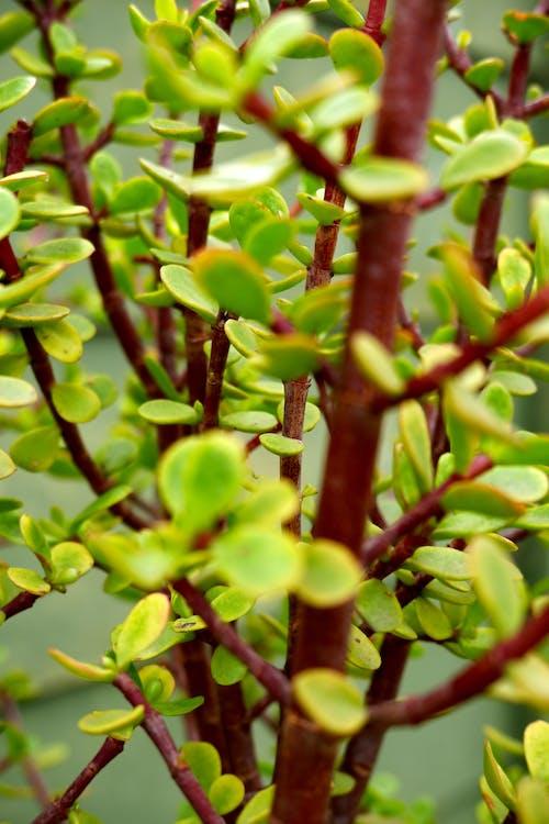 Ingyenes stockfotó spekboom bush témában