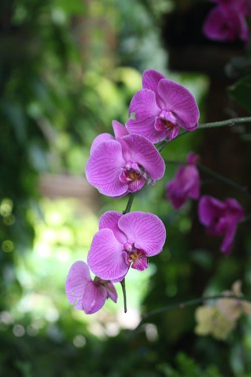 Foto d'estoc gratuïta de orquídia de color morat