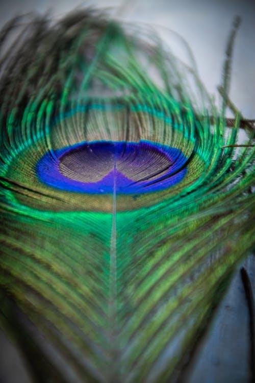 คลังภาพถ่ายฟรี ของ 50 มม., nikoncamera, nikonlifeshot, นกยูง