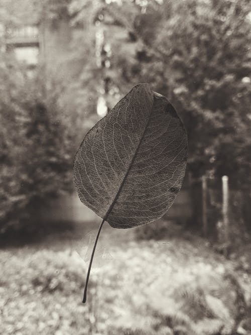 Gray-scale Photography of Leaf