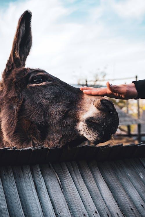 Безкоштовне стокове фото на тему «віслюк, домашня тварина, ласки, Рука»