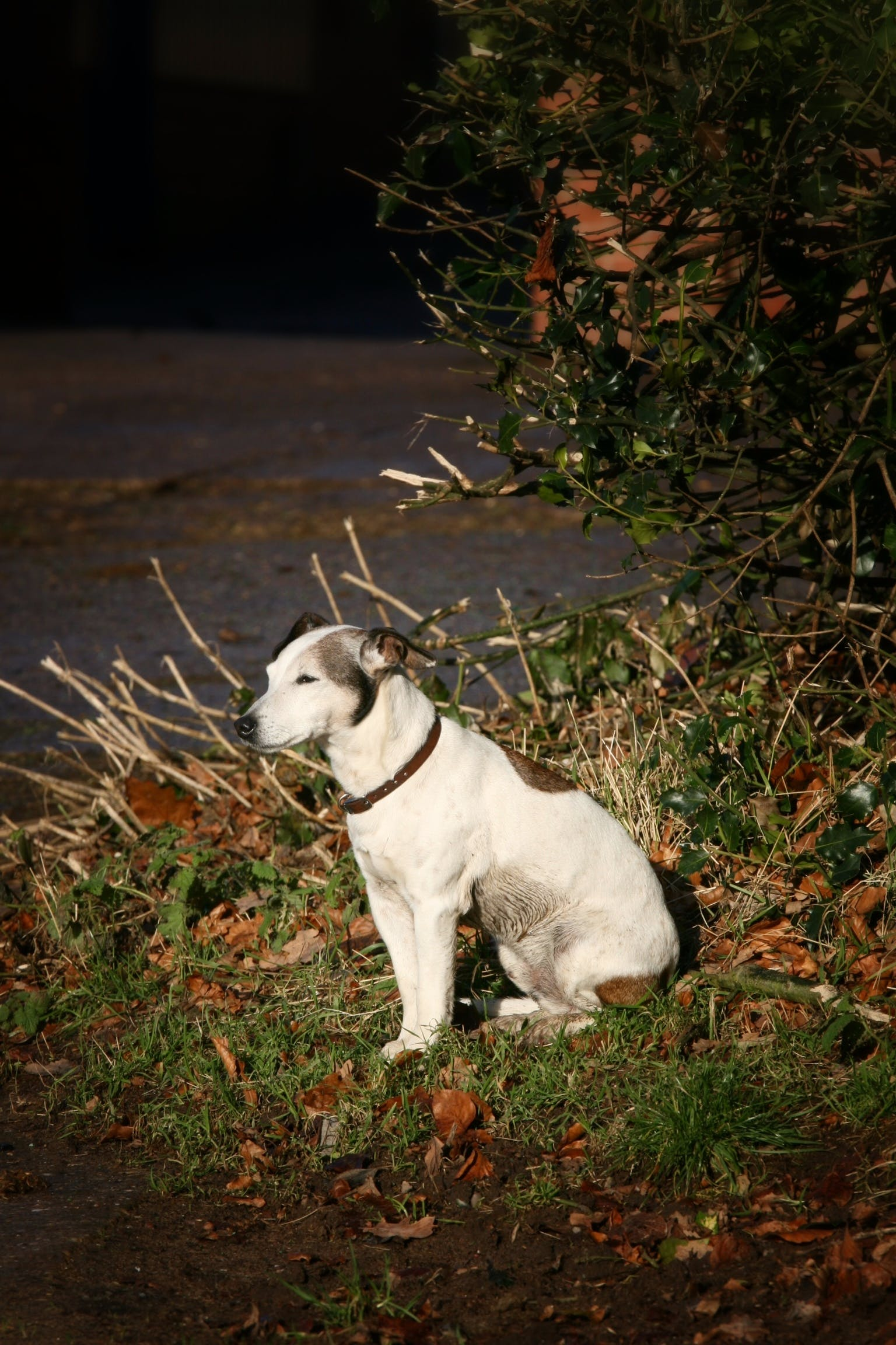 Free stock photo of dog, jack russell, old dog