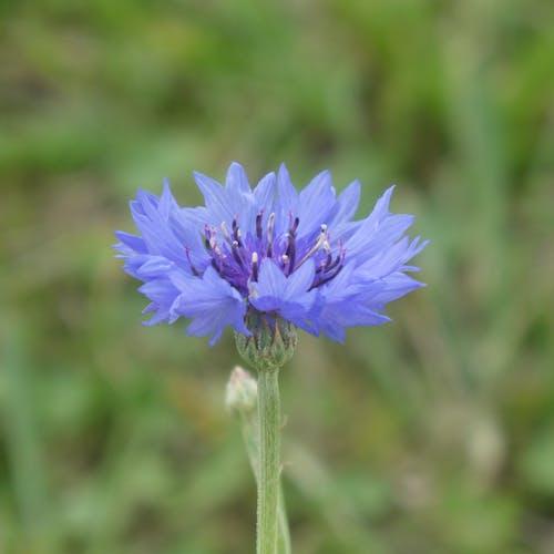 Gratis arkivbilde med bleu, bleuet, botanique, champ