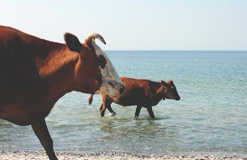 Immagine gratuita di mar nero, mare, mucche, pesca