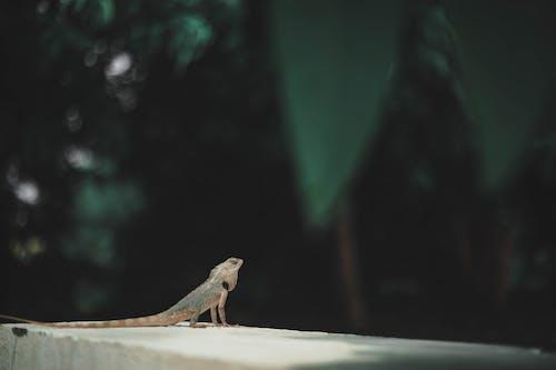 คลังภาพถ่ายฟรี ของ กลางแจ้ง, การถ่ายภาพสัตว์, การเคลื่อนไหว, กิ้งก่า