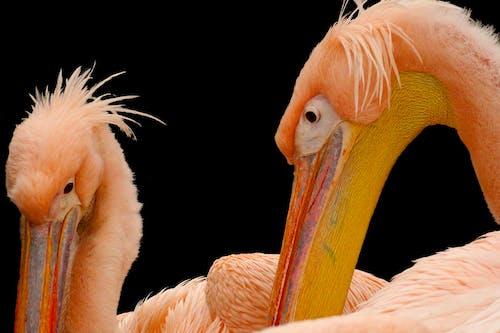 Foto stok gratis alam, flamingo, kebun binatang