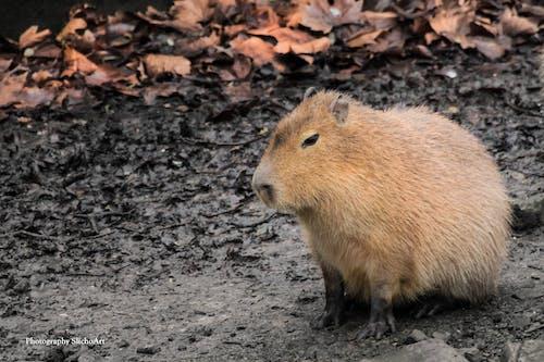Foto stok gratis alam, binatang buas, cappibaras, hamster