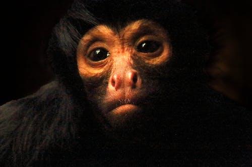 Δωρεάν στοκ φωτογραφιών με αιχμαλωσία, γορίλλας, ζωολογικός κήπος, λυπημένος