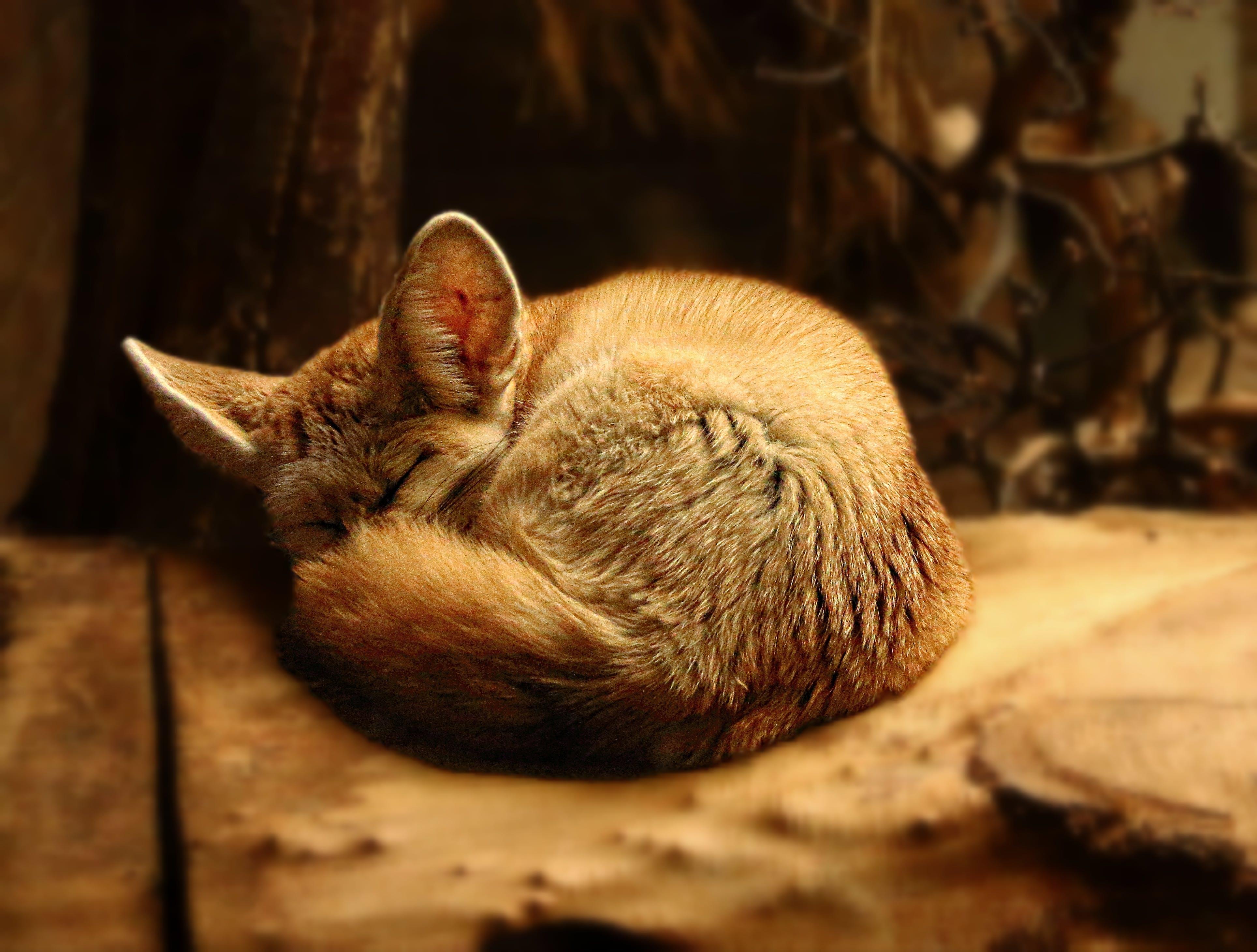 Základová fotografie zdarma na téma domácí, domácí mazlíček, kočka, kočkovití