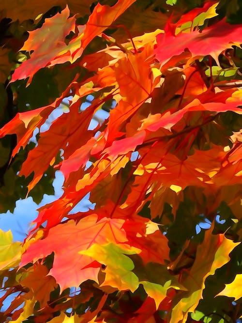 คลังภาพถ่ายฟรี ของ ฤดูใบไม้ร่วง, ใบสีแดง