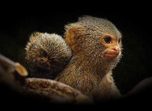 Imagine de stoc gratuită din adorabil, animal, antropoidă, bebeluș