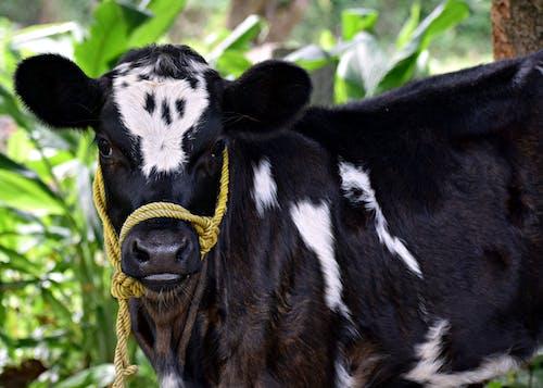 Fotos de stock gratuitas de agricultura, animal, becerro, bozal