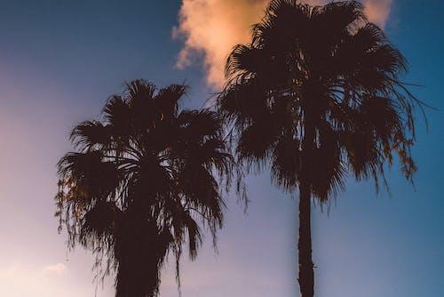 Gratis arkivbilde med blå himmel, daggry, himmel, kokosnøttblader