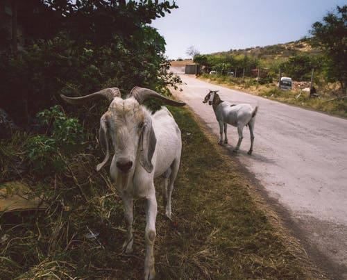 Close-Up View Of Goats On The Road
