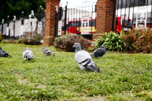 Бесплатное стоковое фото с голуби, парк