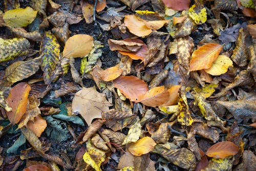 Free stock photo of autumn color, autumn leaves, decay