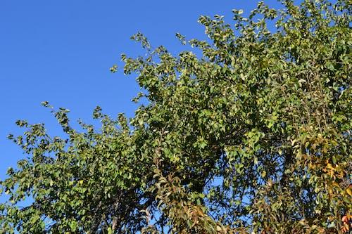Free stock photo of apple tree, autumn color, leaf, sky