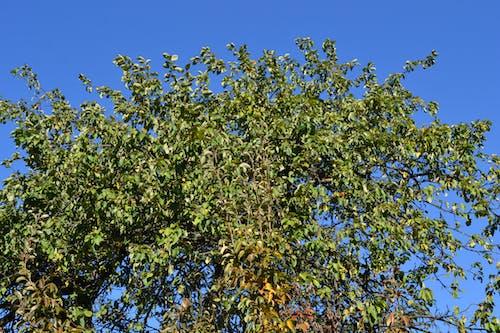 Free stock photo of apple tree, autumn, autumn color, green