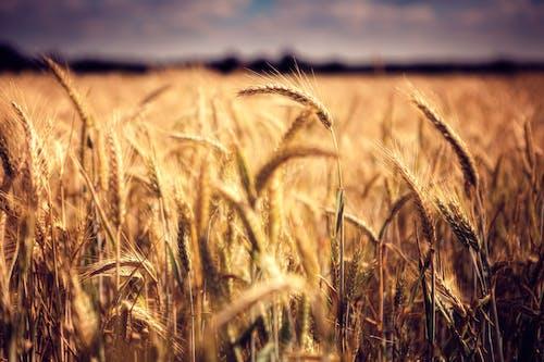 Darmowe zdjęcie z galerii z gospodarstwo, pastwisko, pole, pole pszenicy