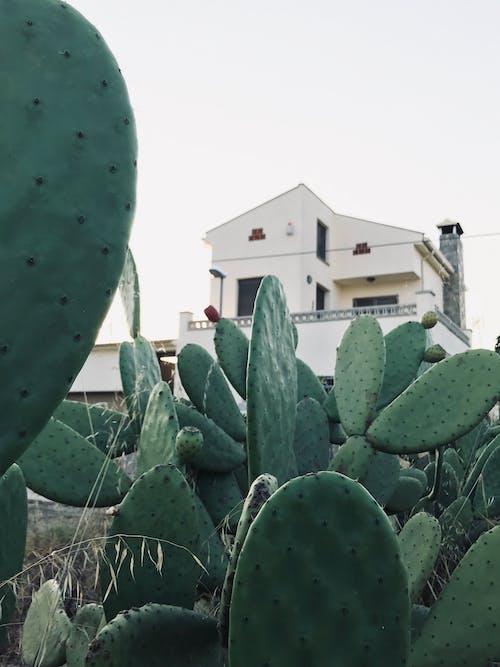 Cactus Plants Grown Near A House